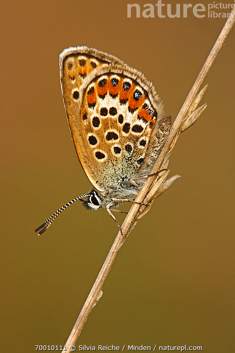 Silver-studded Blue (Plebejus argus) butterfly resting on grass, Neterselse Heide, Noord-Brabant, Netherlands  ,  Adult, Butterfly, Clinging, Color Image, Day, Full Length, Grass, Neterselse Heide, Nobody, One Animal, Outdoors, Perched, Photography, Plebejus argus, Resting, Side View, Silver-studded Blue, Stem, Vertical, Wildlife,Silver-studded Blue,Netherlands  ,  Silvia Reiche