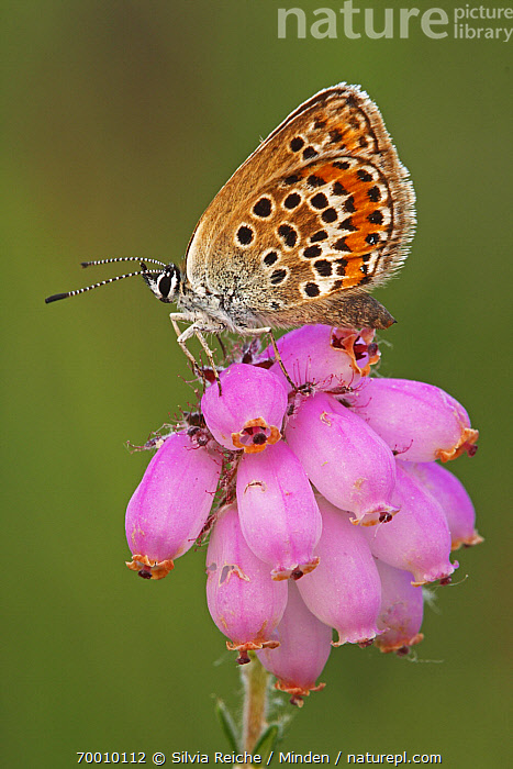 Silver-studded Blue (Plebejus argus) butterfly resting on Cross-leaved Heath (Erica tetralix), Neterselse Heide, Noord-Brabant, Netherlands  ,  Adult, Butterfly, Color Image, Cross-leaved Heath, Day, Erica tetralix, Flower, Full Length, Netherlands, Nobody, One Animal, Outdoors, Perched, Photography, Pink, Plebejus argus, Side View, Silver-studded Blue, Vertical, Wildlife,Silver-studded Blue,Cross-leaved Heath,Erica tetralix,Netherlands  ,  Silvia Reiche