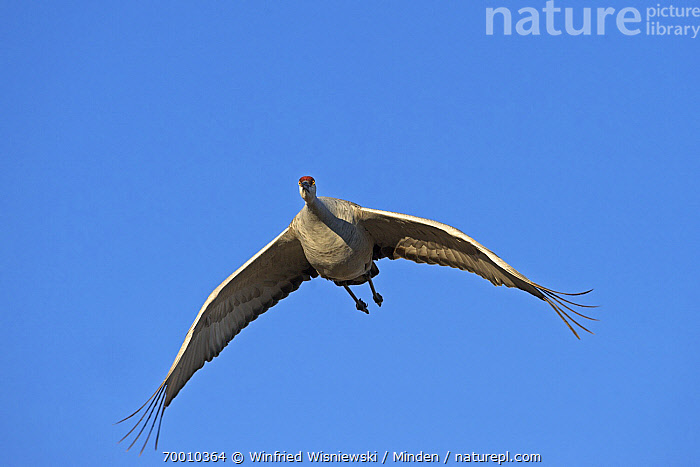 Sandhill Crane (Grus canadensis) flying, Bosque del Apache National Wildlife Refuge, New Mexico  ,  Adult, Approaching, Bosque del Apache National Wildlife Refuge, Color Image, Day, Flying, Front View, Full Length, Grus canadensis, Horizontal, Nobody, One Animal, Outdoors, Photography, Sandhill Crane, Wildlife,Sandhill Crane,New Mexico  ,  Winfried Wisniewski