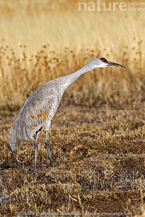 Sandhill Crane (Grus canadensis), Bosque del Apache National Wildlife Refuge, New Mexico  ,  Adult, Bosque del Apache National Wildlife Refuge, Color Image, Day, Full Length, Grus canadensis, New Mexico, Nobody, One Animal, Outdoors, Photography, Sandhill Crane, Side View, Vertical, Wildlife,Sandhill Crane,New Mexico  ,  Winfried Wisniewski