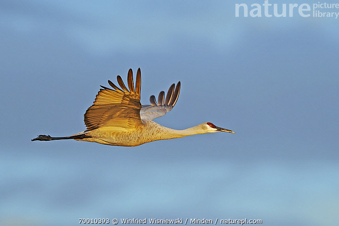 Sandhill Crane (Grus canadensis) flying, Bosque del Apache National Wildlife Refuge, New Mexico  ,  Adult, Bosque del Apache National Wildlife Refuge, Color Image, Day, Flying, Full Length, Grus canadensis, Horizontal, Nobody, One Animal, Outdoors, Photography, Sandhill Crane, Side View, Wildlife,Sandhill Crane,New Mexico  ,  Winfried Wisniewski