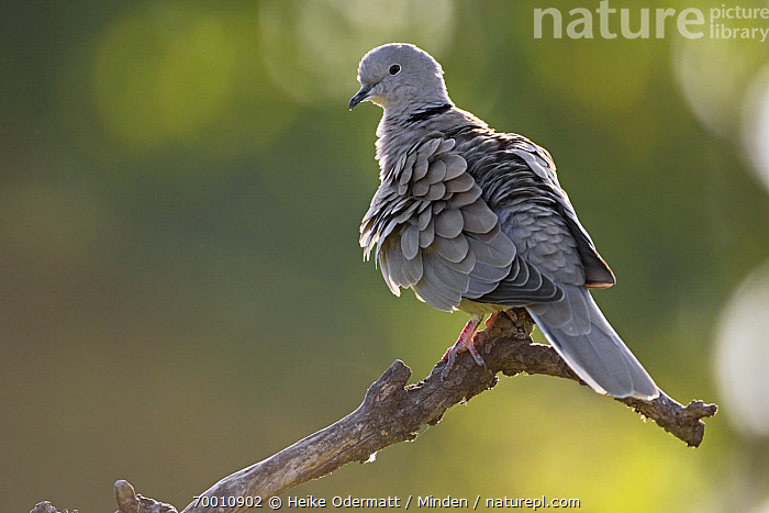 Eurasian Collared-Dove (Streptopelia decaocto), Germany  ,  Adult, Backlighting, Color Image, Day, Eurasian Collared-Dove, Full Length, Germany, Horizontal, Nobody, One Animal, Outdoors, Photography, Side View, Streptopelia decaocto, Wildlife,Eurasian Collared-Dove,Germany  ,  Heike Odermatt