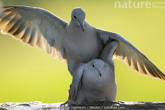 Eurasian Collared-Dove (Streptopelia decaocto) mating, Germany  ,  Adult, Color Image, Day, Eurasian Collared-Dove, Front View, Germany, Horizontal, Mating, Nobody, Outdoors, Photography, Streptopelia decaocto, Two Animals, Waist Up, Wildlife,Eurasian Collared-Dove,Germany  ,  Heike Odermatt