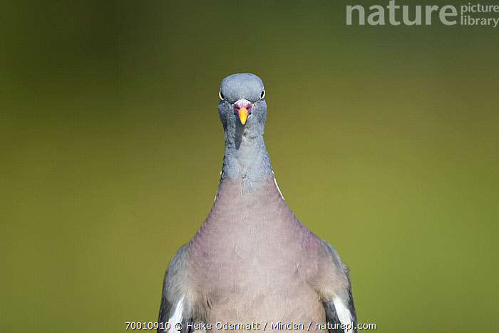 Common Wood-pigeon (Columba palumbus), Germany  ,  Adult, Color Image, Columba palumbus, Common Wood-Pigeon, Day, Emoting, Front View, Germany, Horizontal, Humor, Looking at Camera, Nobody, One Animal, Outdoors, Photography, Portrait, Waist Up, Wildlife,Common Wood-pigeon,Germany  ,  Heike Odermatt