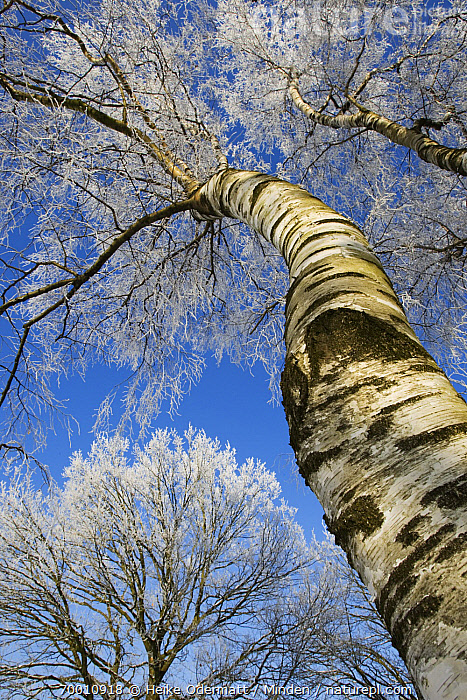 Birch (Betula sp) covered with hoarfrost, Kampina, Noord-Brabant, Netherlands  ,  Betula sp, Birch, Color Image, Day, Frost, Hoarfrost, Kampina, Leafless, Looking Up, Low Angle View, Netherlands, Nobody, Noord-Brabant, Outdoors, Overhead, Photography, Tree Trunk, Vertical,Birch,Netherlands  ,  Heike Odermatt