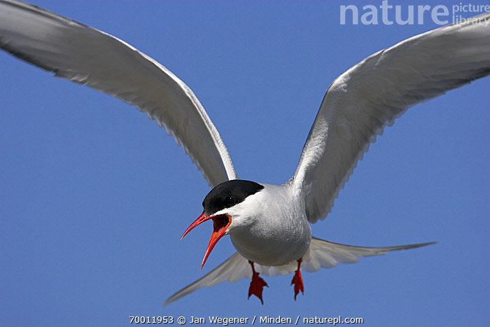 Arctic Tern (Sterna paradisaea) flying and defending its nest, North Sea, Germany  ,  Adult, Arctic Tern, Calling, Color Image, Day, Defending, Flying, Front View, Horizontal, Nobody, One Animal, Outdoors, Photography, Seabird, Sterna paradisaea, Territorial, Three Quarter Length, Wildlife,Arctic Tern,Germany  ,  Jan Wegener