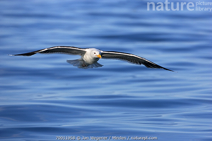 Great Black-backed Gull (Larus marinus) flying over sea, Vannoy, Norway  ,  Adult, Approaching, Color Image, Day, Flying, Front View, Full Length, Great Black-backed Gull, Horizontal, Larus marinus, Nobody, One Animal, Outdoors, Photography, Seabird, Wildlife,Great Black-backed Gull,Norway  ,  Jan Wegener