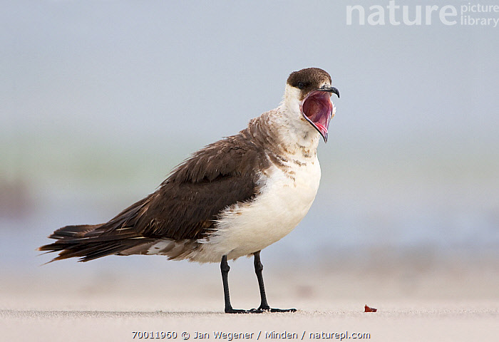 Arctic Skua (Stercorarius parasiticus) yawning on beach, Helgoland, Germany, North Sea  ,  Adult, Arctic Skua, Beach, Color Image, Day, Full Length, Helgoland, Horizontal, Nobody, One Animal, Open Mouth, Outdoors, Photography, Sand, Seabird, Side View, Stercorarius parasiticus, Wildlife, Yawning,Arctic Skua,Germany  ,  Jan Wegener