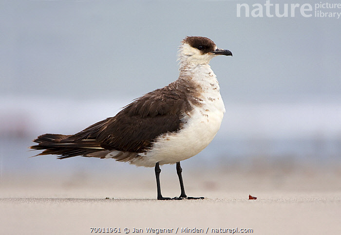 Arctic Skua (Stercorarius parasiticus) on North Sea beach, Helgoland, Germany, North Sea  ,  Adult, Arctic Skua, Beach, Color Image, Day, Full Length, Helgoland, Horizontal, Nobody, North Sea, One Animal, Outdoors, Photography, Seabird, Side View, Stercorarius parasiticus, Wildlife,Arctic Skua,Germany  ,  Jan Wegener