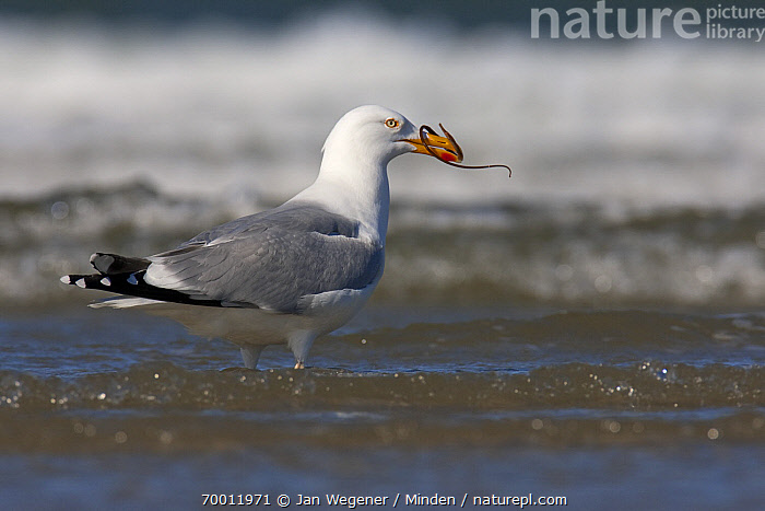 Herring Gull (Larus argentatus) in the surf with Pipefish (Syngnathidae) prey, North Sea, Germany  ,  Adult, Color Image, Day, Full Length, Herring Gull, Horizontal, Larus argentatus, Nobody, One Animal, Outdoors, Photography, Pipefish, Predation, Predator, Prey, Seabird, Shallow Water, Side View, Wildlife,Herring Gull,Pipefish,Syngnathidae,Germany  ,  Jan Wegener