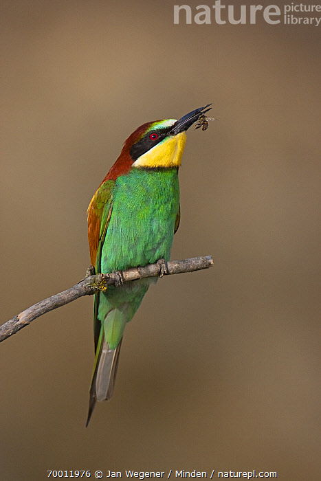 European Bee-eater (Merops apiaster) with insect prey, Lake Neusiedl, Austria  ,  Adult, Color Image, Day, European Bee-eater, Full Length, Insect, Lake Neusiedl, Merops apiaster, Nobody, One Animal, Outdoors, Perched, Photography, Predation, Prey, Side View, Vertical, Wildlife,European Bee-eater,Austria  ,  Jan Wegener