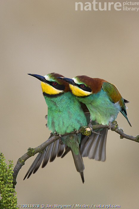 European Bee-eater (Merops apiaster) pair perched on branch, Lake Neusiedl, Austria  ,  Adult, Affection, Color Image, Day, European Bee-eater, Front View, Full Length, Lake Neusiedl, Merops apiaster, Nobody, Nuzzling, Outdoors, Pair, Perched, Photography, Two Animals, Vertical, Wildlife,European Bee-eater,Austria  ,  Jan Wegener