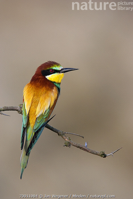 European Bee-eater (Merops apiaster) perched on a branch, dorsal view, Lake Neusiedl, Austria  ,  Adult, Color Image, Day, European Bee-eater, Full Length, Lake Neusiedl, Merops apiaster, Nobody, One Animal, Outdoors, Perched, Photography, Rear View, Vertical, Wildlife,European Bee-eater,Austria  ,  Jan Wegener