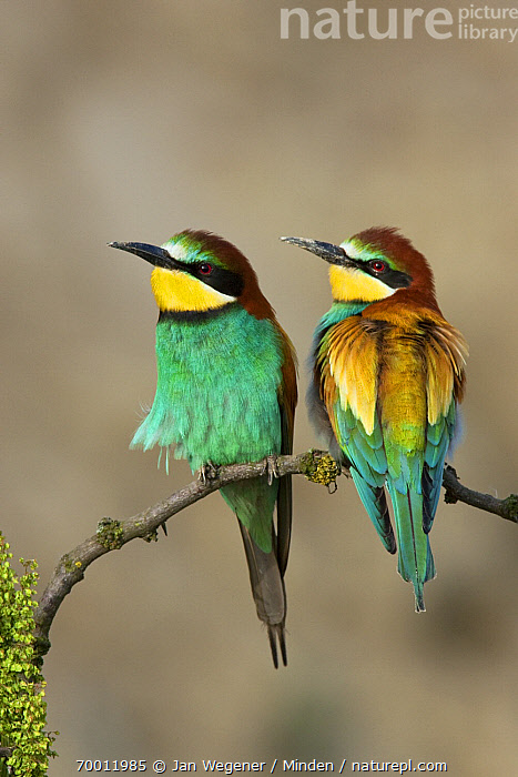 European Bee-eater (Merops apiaster) pair perched on branch, Lake Neusiedl, Austria  ,  Adult, Color Image, Day, European Bee-eater, Front View, Full Length, Lake Neusiedl, Merops apiaster, Nobody, Outdoors, Pair, Perched, Photography, Rear View, Two Animals, Vertical, Wildlife,European Bee-eater,Austria  ,  Jan Wegener