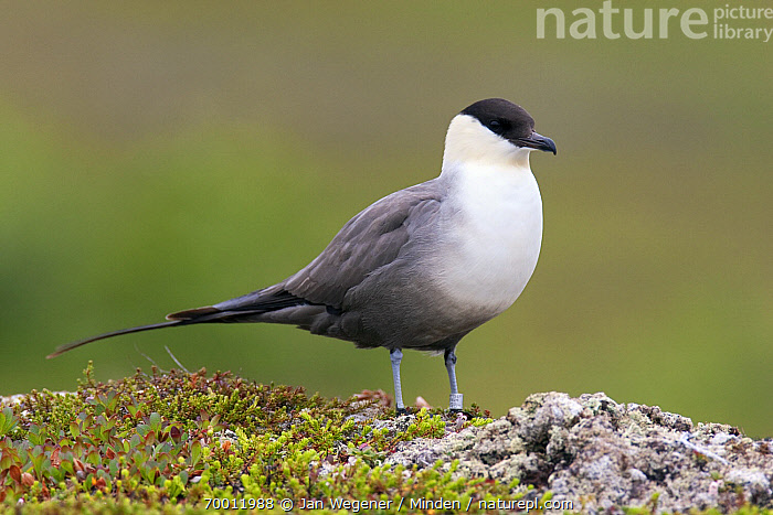 Long-tailed Jaeger (Stercorarius longicaudus) on arctic tundra, Varanger Peninsula, Norway  ,  Adult, Banded, Breeding Plumage, Color Image, Day, Full Length, Horizontal, Long-tailed Jaeger, Nobody, One Animal, Outdoors, Photography, Seabird, Side View, Stercorarius longicaudus, Tundra, Varanger Peninsula, Wildlife,Long-tailed Jaeger,Norway  ,  Jan Wegener