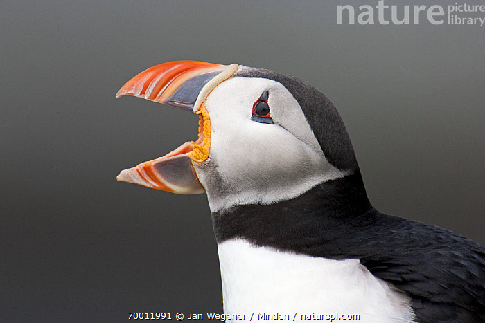Atlantic Puffin (Fratercula arctica) yawning, Varanger Peninsula, Norway  ,  Adult, Atlantic Puffin, Color Image, Day, Fratercula arctica, Head and Shoulders, Horizontal, Nobody, One Animal, Open Mouth, Outdoors, Photography, Seabird, Side View, Varanger Peninsula, Wildlife, Yawning,Atlantic Puffin,Norway  ,  Jan Wegener