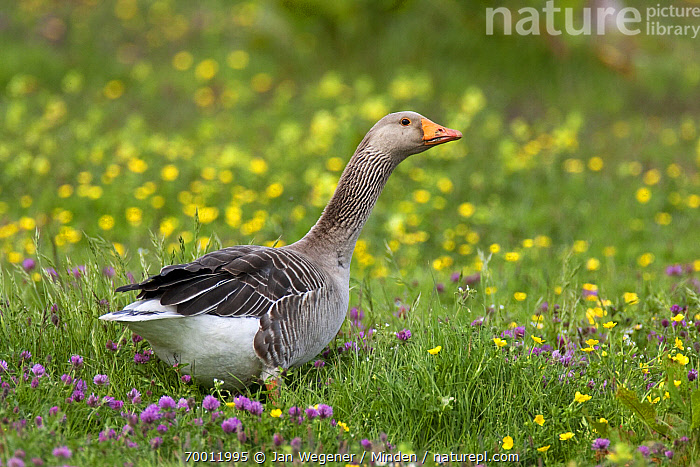 Greylag Goose (Anser anser) standing in a flowering meadow, Texel, Netherlands  ,  Adult, Anser anser, Color Image, Day, Full Length, Greylag Goose, Horizontal, Meadow, Nobody, One Animal, Outdoors, Photography, Side View, Texel, Waterfowl, Wildlife,Greylag Goose,Netherlands  ,  Jan Wegener