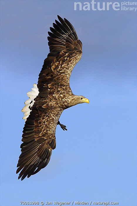 White-tailed Eagle (Haliaeetus albicilla) flying, Brandenburg, Germany  ,  Adult, Brandenburg, Color Image, Day, Flying, Full Length, Haliaeetus albicilla, Nobody, One Animal, Outdoors, Photography, Raptor, Side View, Soaring, Vertical, White-tailed Eagle, Wildlife,White-tailed Eagle,Germany  ,  Jan Wegener