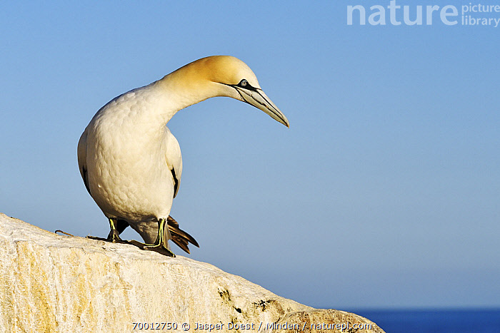 Northern Gannet (Morus bassanus), Saltee Island, Ireland  ,  Adult, Color Image, Day, Front View, Full Length, Horizontal, Looking, Morus bassanus, Nobody, Northern Gannet, One Animal, Outdoors, Photography, Saltee Island, Wildlife,Northern Gannet,Ireland  ,  Jasper Doest