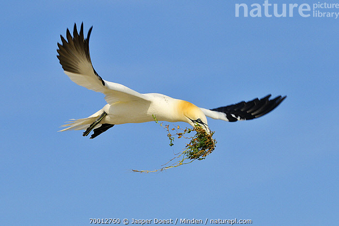 Northern Gannet (Morus bassanus) landing with nest material, Saltee Island, Ireland  ,  Adult, Carrying, Color Image, Day, Flying, Full Length, Horizontal, Morus bassanus, Nesting, Nobody, Northern Gannet, One Animal, Outdoors, Photography, Saltee Island, Seabird, Side View, Wildlife,Northern Gannet,Ireland  ,  Jasper Doest