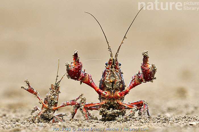 Striped Crayfish (Orconectes limosus) pair in defensive posture, Donana National Park, Seville, Andalucia, Spain  ,  Adult, Andalucia, Color Image, Day, Defending, Defensive Posture, Donana National Park, Front View, Full Length, Horizontal, Humor, Nobody, Orconectes limosus, Outdoors, Pair, Photography, Seville, Striped Crayfish, Two Animals, Wildlife,Striped Crayfish,Spain  ,  Jasper Doest