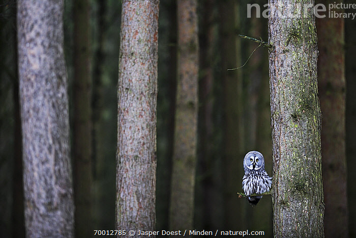 Great Gray Owl (Strix nebulosa) in coniferous forest, England  ,  Adult, Animal in Habitat, Color Image, Coniferous Forest, Day, England, Front View, Full Length, Great Gray Owl, Horizontal, Looking at Camera, Nobody, One Animal, Outdoors, Photography, Raptor, Strix nebulosa, Wildlife,Great Gray Owl,England  ,  Jasper Doest