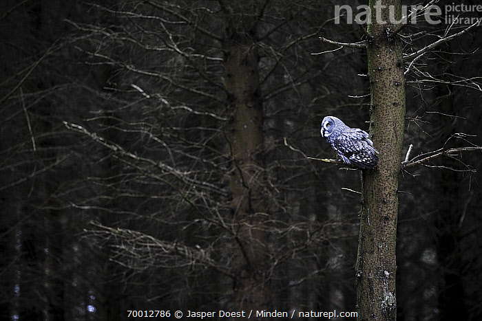 Great Gray Owl (Strix nebulosa) in coniferous forest, England  ,  Adult, Animal in Habitat, Color Image, Coniferous Forest, Day, England, Full Length, Great Gray Owl, Horizontal, Nobody, One Animal, Outdoors, Owl, Photography, Raptor, Side View, Strix nebulosa, Wildlife,Great Gray Owl,England  ,  Jasper Doest