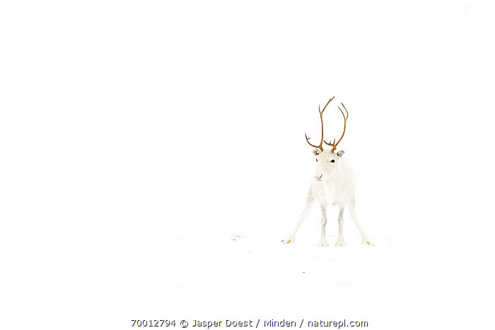 Caribou (Rangifer tarandus) with white coat in snow, Abisko, Sweden  ,  Abisko, Adult, Camouflage, Caribou, Cold, Color Image, Day, Front View, Full Length, Horizontal, Nobody, One Animal, Outdoors, Photography, Rangifer tarandus, Snow, White, Wildlife, Winter,Caribou,Sweden  ,  Jasper Doest