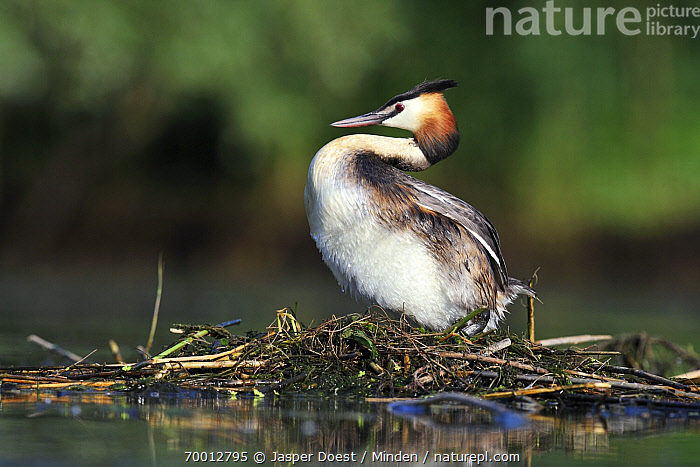 Great Crested Grebe (Podiceps cristatus) on nest, Zuid-Holland, Netherlands  ,  Adult, Color Image, Day, Full Length, Great Crested Grebe, Horizontal, Nest, Nobody, One Animal, Outdoors, Parent, Photography, Podiceps cristatus, Side View, Wildlife, Zuid-Holland,Great Crested Grebe,Netherlands  ,  Jasper Doest