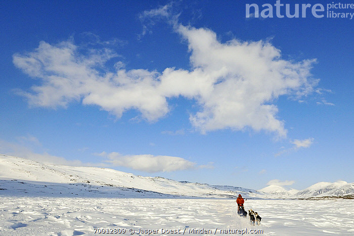 Domestic Dog (Canis familiaris) group in sled team, Abisko, Sweden  ,  Abisko, Approaching, Canis familiaris, Color Image, Day, Dog Sled, Dog Sledding, Domestic Dog, Five Animals, Front View, Full Length, Horizontal, Human in Landscape, Ice, One Person, Outdoors, Photography, Pulling, Running, Sled, Snow, Sweden,Domestic Dog,Sweden  ,  Jasper Doest