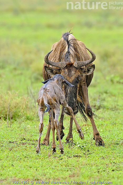 Blue Wildebeest (Connochaetes taurinus) mother with newborn calf, Serengeti National Park, Tanzania  ,  Adult, Blue Wildebeest, Calf, Color Image, Connochaetes taurinus, Day, Facing, Front View, Full Length, Mother, Newborn, Nobody, Outdoors, Photography, Rear View, Serengeti National Park, Two Animals, Vertical, Wildlife,Blue Wildebeest,Tanzania  ,  Winfried Wisniewski