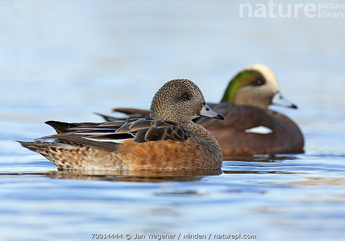 American Wigeon (Anas americana) pair with female in foreground, Vancouver, British Columbia, Canada  ,  Adult, American Wigeon, Anas americana, Color Image, Day, Dimorphic, Female, Full Length, Horizontal, Male, Nobody, Outdoors, Photography, Sexual Dimorphism, Side View, Two Animals, Vancouver, Waterfowl, Wildlife,American Wigeon,Canada  ,  Jan Wegener