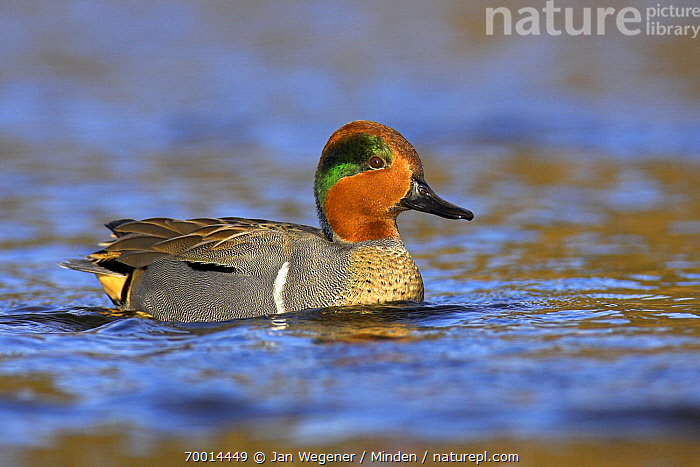 Green-winged Teal (Anas carolinensis) drake on a lake, Vancouver, British Columbia, Canada  ,  Adult, Anas carolinensis, Color Image, Day, Full Length, Green-winged Teal, Horizontal, Nobody, One Animal, Outdoors, Photography, Side View, Vancouver, Waterfowl, Wildlife,Green-winged Teal,Canada  ,  Jan Wegener