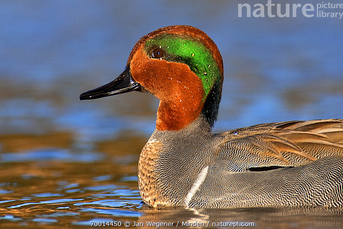 Green-winged Teal (Anas carolinensis) drake on water, Vancouver, British Columbia, Canada  ,  Adult, Anas carolinensis, British Columbia, Canada, Color Image, Day, Drake, Green-winged Teal, Horizontal, Male, Nobody, One Animal, Outdoors, Photography, Portrait, Profile, Side View, Vancouver, Waist Up, Waterfowl, Wildlife,Green-winged Teal,Canada  ,  Jan Wegener