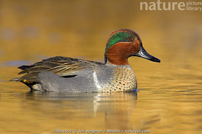 Green-winged Teal (Anas carolinensis) drake, Vancouver, British Columbia, Canada  ,  Adult, Anas carolinensis, Color Image, Day, Drake, Full Length, Green-winged Teal, Horizontal, Male, Nobody, One Animal, Outdoors, Photography, Side View, Vancouver, Waterfowl, Wildlife,Green-winged Teal,Canada  ,  Jan Wegener