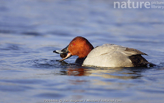 Common Pochard (Aythya ferina) eating snail on water, Berlin, Germany  ,  Adult, Aythya ferina, Berlin, Color Image, Common Pochard, Day, Drake, Eating, Feeding, Full Length, Germany, Horizontal, Male, Nobody, One Animal, Outdoors, Photography, Side View, Snail, Waterfowl, Wildlife,Common Pochard,Germany  ,  Jan Wegener