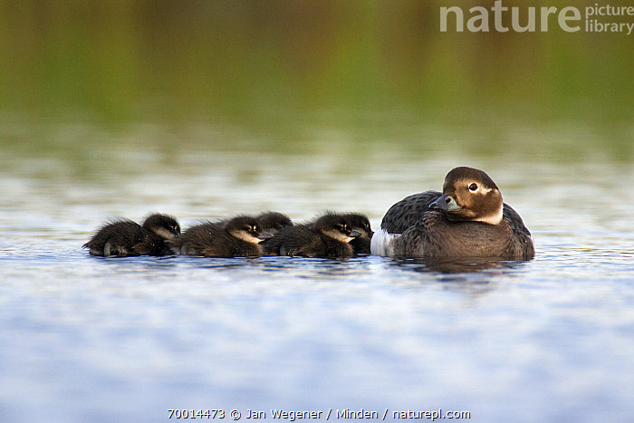 Long-tailed Duck (Clangula hyemalis) female with ducklings, Varanger Peninsula, Norway  ,  Adult, Baby, Chick, Clangula hyemalis, Color Image, Day, Duckling, Female, Following, Front View, Full Length, Horizontal, Long-tailed Duck, Looking at Camera, Medium Group of Animals, Mother, Nobody, Norway, Outdoors, Parent, Photography, Side View, Swimming, Varanger Peninsula, Waterfowl, Wildlife,Long-tailed Duck,Norway  ,  Jan Wegener