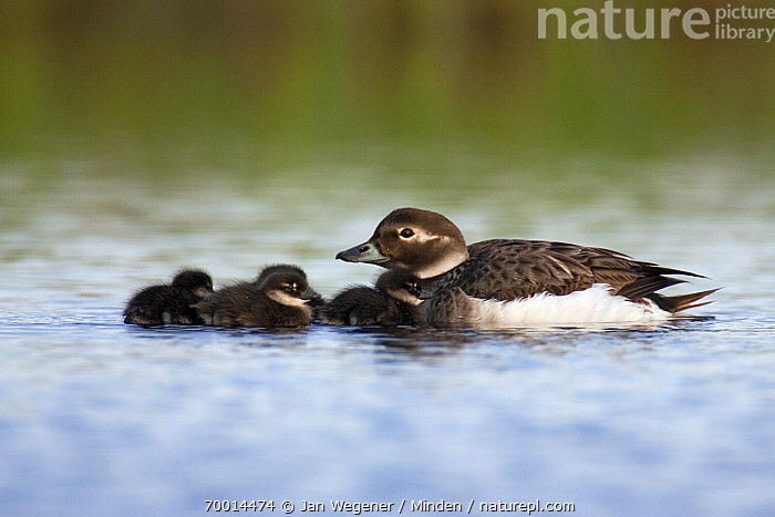 Long-tailed Duck (Clangula hyemalis) female with her ducklings, Varanger, Norway  ,  Adult, Baby, Chick, Clangula hyemalis, Color Image, Day, Duckling, Female, Four Animals, Full Length, Horizontal, Long-tailed Duck, Mother, Nobody, Outdoors, Parent, Photography, Side View, Varanger, Waterfowl, Wildlife,Long-tailed Duck,Norway  ,  Jan Wegener