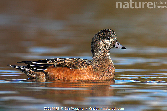 American Wigeon (Anas americana) female on the water, Vancouver, British Columbia, Canada  ,  Adult, American Wigeon, Anas americana, Color Image, Day, Female, Full Length, Horizontal, Nobody, One Animal, Outdoors, Photography, Side View, Vancouver, Waterfowl, Wildlife,American Wigeon,Canada  ,  Jan Wegener