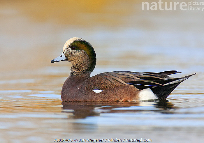 American Wigeon (Anas americana) drake, Vancouver, British Columbia, Canada  ,  Adult, American Wigeon, Anas americana, Color Image, Day, Drake, Full Length, Horizontal, Male, Nobody, One Animal, Outdoors, Photography, Side View, Vancouver, Waterfowl, Wildlife,American Wigeon,Canada  ,  Jan Wegener