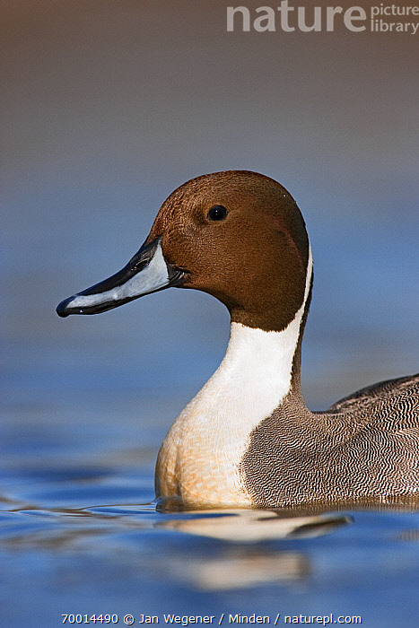 Northern Pintail (Anas acuta) drake, Vancouver, British Columbia, Canada  ,  Adult, Anas acuta, British Columbia, Canada, Color Image, Day, Drake, Head and Shoulders, Male, Nobody, Northern Pintail, One Animal, Outdoors, Photography, Portrait, Profile, Side View, Vancouver, Vertical, Waterfowl, Wildlife,Northern Pintail,Canada  ,  Jan Wegener