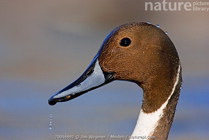 Northern Pintail (Anas acuta) drake, Vancouver, British Columbia, Canada  ,  Adult, Anas acuta, British Columbia, Canada, Color Image, Day, Drake, Head, Horizontal, Male, Nobody, Northern Pintail, One Animal, Outdoors, Photography, Portrait, Profile, Side View, Vancouver, Waterfowl, Wildlife,Northern Pintail,Canada  ,  Jan Wegener