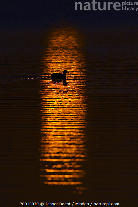 Coot (Fulica atra) on water at sunset, Midden Delfland, Zuid-Holland, Netherlands  ,  Adult, Color Image, Coot, Day, Fulica atra, Full Length, Midden Delfland, Netherlands, Nobody, One Animal, Outdoors, Photography, Side View, Silhouette, Sunset, Swimming, Vertical, Wildlife, Zuid-Holland,Coot,Netherlands  ,  Jasper Doest