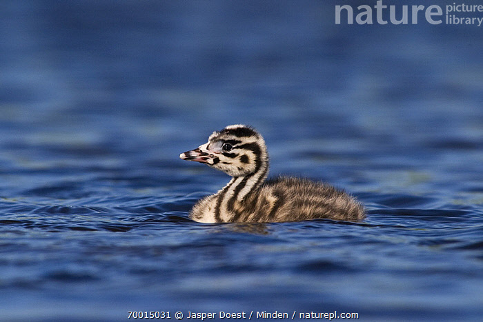 Great Crested Grebe (Podiceps cristatus) chick on water, Midden-Delfland, Vlaardingen, Zuid-Holland, Netherlands  ,  Chick, Color Image, Day, Down Feather, Full Length, Great Crested Grebe, Horizontal, Midden-Delfland, Nobody, One Animal, Outdoors, Photography, Podiceps cristatus, Side View, Vlaardingen, Wildlife, Zuid-Holland,Great Crested Grebe,Netherlands  ,  Jasper Doest