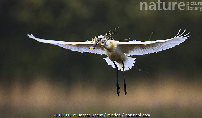 Eurasian Spoonbill (Platalea leucorodia) flying with nesting material, Texel, Noord-Holland, Netherlands  ,  Adult, Carrying, Color Image, Day, Eurasian Spoonbill, Flying, Full Length, Horizontal, Nesting, Nobody, Noord-Holland, One Animal, Outdoors, Photography, Platalea leucorodia, Side View, Texel, Twig, Wildlife,Eurasian Spoonbill,Netherlands  ,  Jasper Doest