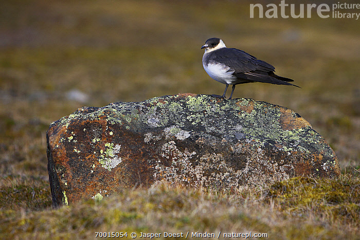 Arctic Skua (Stercorarius parasiticus), Svalbard, Norway  ,  Adult, Arctic Skua, Color Image, Day, Full Length, Horizontal, Nobody, Norway, One Animal, Outdoors, Photography, Seabird, Side View, Stercorarius parasiticus, Svalbard, Wildlife,Arctic Skua,Norway  ,  Jasper Doest