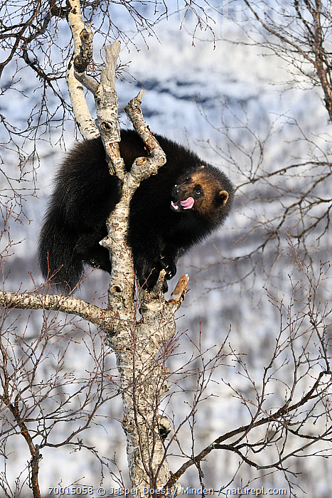 Wolverine (Gulo gulo) in tree, Norway  ,  Adult, Arboreal, Color Image, Day, Full Length, Gulo gulo, Leafless, Licking, Nobody, Norway, One Animal, Outdoors, Photography, Side View, Tongue, Tree, Vertical, Wildlife, Wolverine,Wolverine,Norway  ,  Jasper Doest