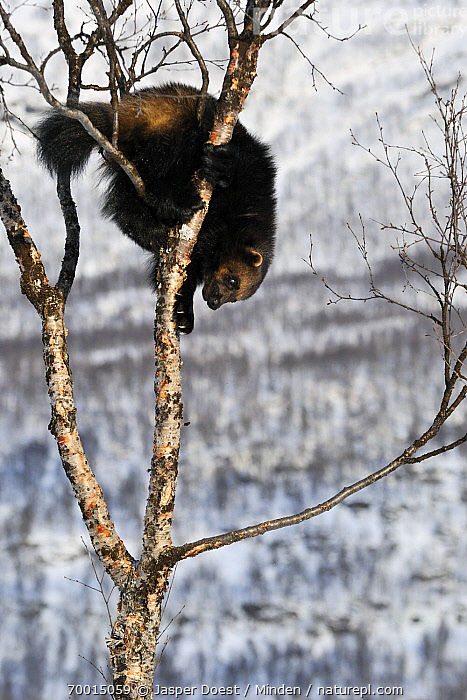 Wolverine (Gulo gulo) in tree, Norway  ,  Adult, Arboreal, Climbing, Color Image, Day, Full Length, Gulo gulo, Leafless, Nobody, Norway, One Animal, Outdoors, Photography, Side View, Tree, Vertical, Wildlife, Wolverine,Wolverine,Norway  ,  Jasper Doest