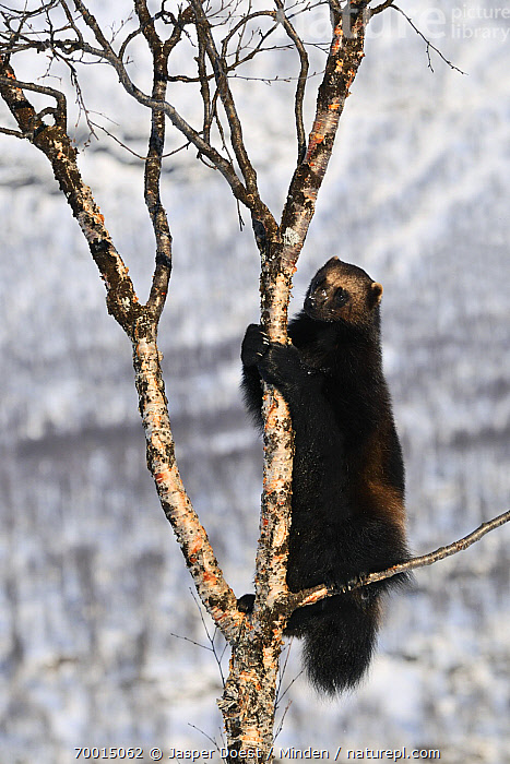 Wolverine (Gulo gulo) climbing tree, Norway  ,  Adult, Climbing, Color Image, Day, Full Length, Gulo gulo, Nobody, One Animal, Outdoors, Photography, Side View, Tree, Vertical, Wildlife, Wolverine,Wolverine,Norway  ,  Jasper Doest