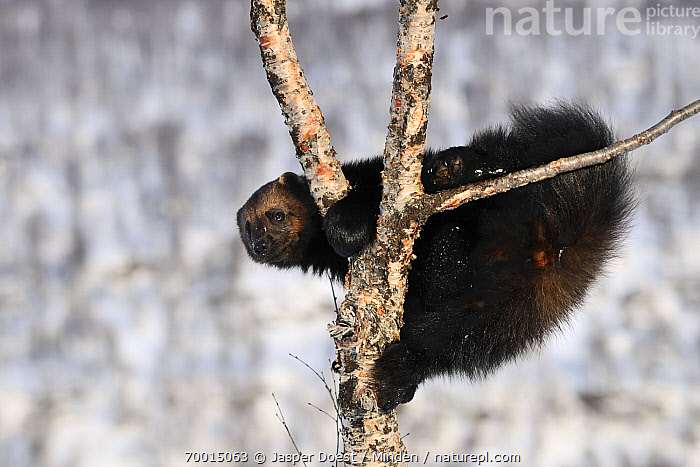 Wolverine (Gulo gulo) in tree, Norway  ,  Adult, Arboreal, Climbing, Color Image, Day, Full Length, Gulo gulo, Horizontal, Leafless, Nobody, Norway, One Animal, Outdoors, Photography, Side View, Tree, Wildlife, Wolverine,Wolverine,Norway  ,  Jasper Doest